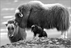 Gallery print  Oxen with cub - Ken Archer