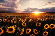 Gallery print  Sunflower field with sunset - Oliver Henze