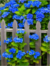 Wood print  Blue hydrangeas - Sylvia Gulin