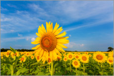 Wall sticker  Sunflower field - Richard and Susan Day