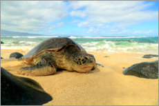 Canvas print  Green sea turtle - Stuart Westmorland