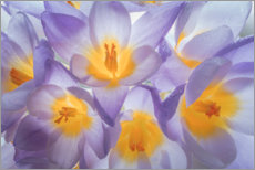 Canvas print  Crocus flowers - Jaynes Gallery