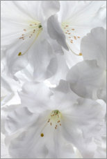 Canvas print  White rhododendron flowers II - Jaynes Gallery