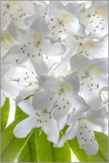 Aluminium print  White rhododendron flowers - Jaynes Gallery
