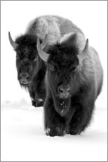 Premium poster  Bison hiking in deep snow - Ellen B. Goff