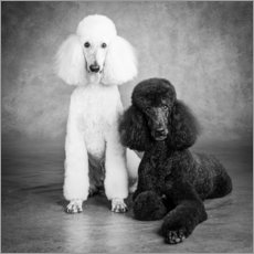 Wall sticker Kingpoodle black and white