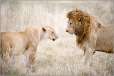 Premium poster Lion and lioness