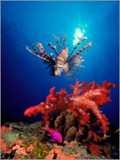 Premium poster  Lionfish and soft coral