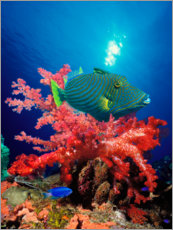 Foam board print  Triggerfish and soft coral
