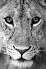 Canvas print  Head of a lioness
