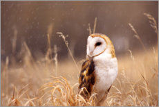 Premium poster  Barn Owl in the grass