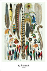 Premium poster  Plumes (Swedish) - Wunderkammer Collection