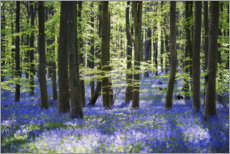 Gallery print  Blue sea of flowers in the forest with light - Sven Müller
