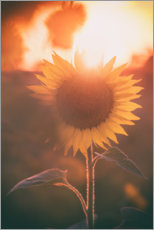 Premium poster Sunflower at sunset
