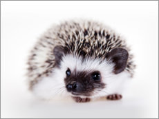 Premium poster  Fluffy African pygmy hedgehog