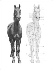 Premium poster  Anatomy of the horse - Wunderkammer Collection