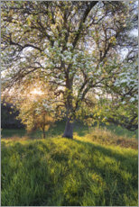 Canvas print  Blossoming pear tree in the sunset light - Sven Müller