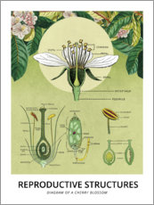 Premium poster  Diagram of a cherry blossom - Wunderkammer Collection