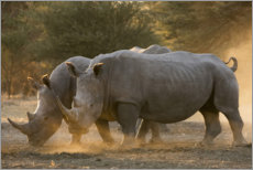 Premium poster Two white rhinos