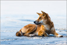 Wall sticker  Dingo at Seventy Five Mile Beach - Andrew Michael