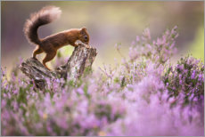 Acrylic print  Red squirrel - Kevin Morgans