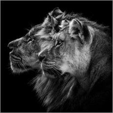 Acrylic print  Portrait of a Lion and a Lioness - Laurent Lothare Dambreville