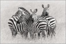 Premium poster  Group of zebras - Kirill Trubitsyn