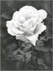 Gallery print  White Rose - Christian Klute