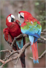 Aluminium print  A pair of red-green macaws - Ellen B. Goff
