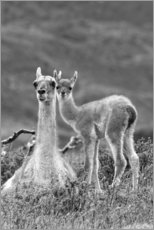 Premium poster  Alpaca mother with child - Adam Jones