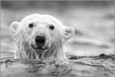 Premium poster Polar bear while swimming