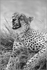 Premium poster Laughing cheetah