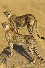Premium poster A pair of cheetahs