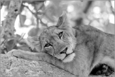 Canvas print  Lioness resting on branch - Emily M. Wilson