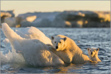 Premium poster Polar bear cub with mother swimming