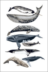 Wall sticker  Whale species II - Naomi McCavitt