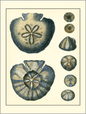 Gallery print  Antique Blue Sanddollar - Vision Studio