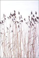 Premium poster Reeds in winter
