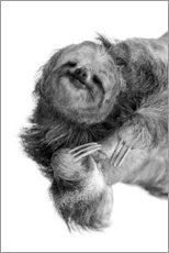 Premium poster  Three-toed sloth