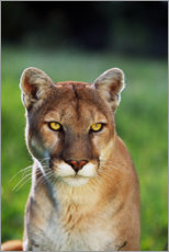 Premium poster  Mountain Lion