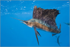 Premium poster  Atlantic sailfish - Reinhard Dirscherl