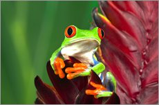 Gallery print  Red-eyed tree frog on a leaf - Adam Jones
