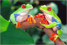 Wall sticker  Red Eye Treefrog Pair - David Northcott
