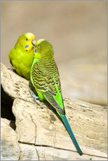 Wall sticker  Cute budgerigars - Trish Drury