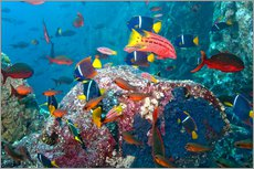 Gallery Print  Galapagos Islands - the underwater world of colorful tropical fish - Paul Souders