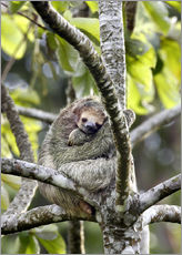 Wall sticker  Three-finger sloth rests on tree - Don Grall