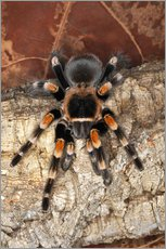 Gallery print  Red knee tarantula - Adam Jones