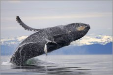 Gallery print  Humpback whale in Frederick Sound - Paul Souders