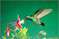 Wall sticker  Broad-billed hummingbird on columbine - Rolf Nussbaumer