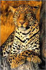 Gallery print  Enthroned Leopard - Dave Welling